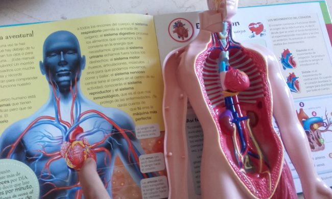 Nuestro cuerpo: SISTEMA CIRCULATORIO « Happy Mama