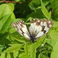 Mariposa planta.